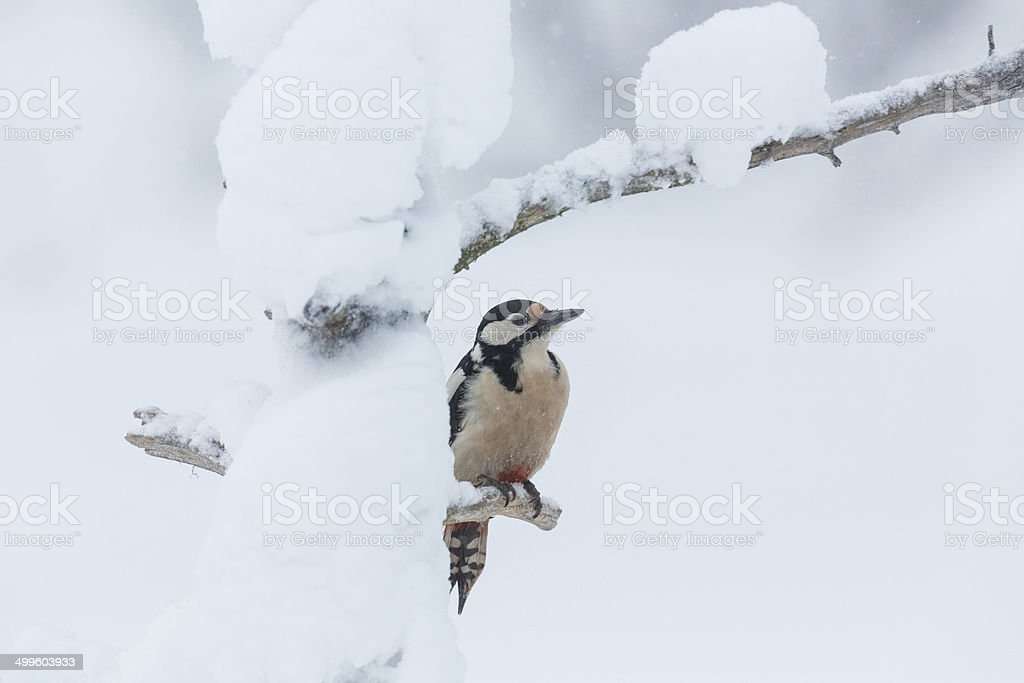 Great spotted woodpecker, Dendrocopos major stock photo