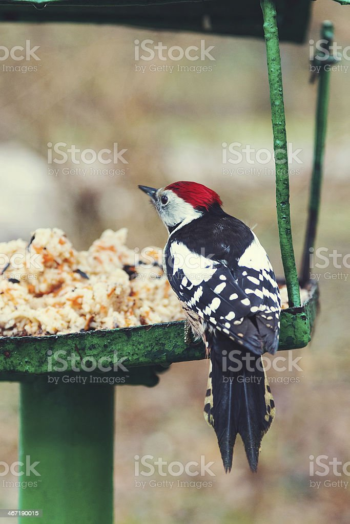 Great Spotted Woodpecker on the bird feeder (Dendrocopos major) stock photo