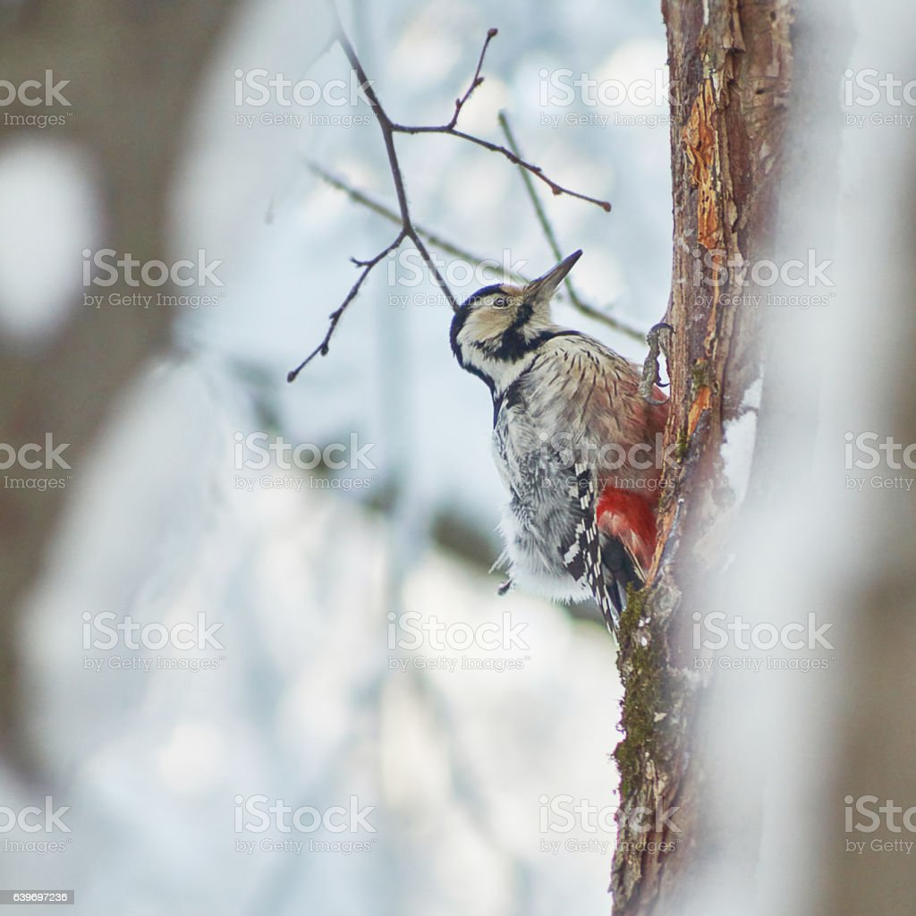 Great spotted woodpecker on trunk of pine. stock photo