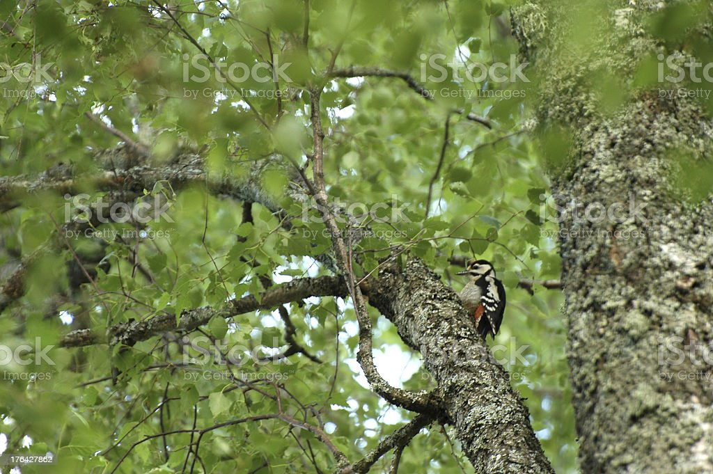 Great Spotted Woodpecker royalty-free stock photo