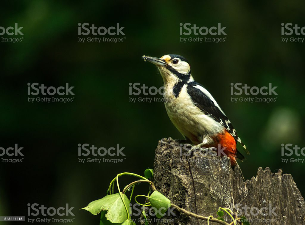 Great Spotted Woodpecker stock photo