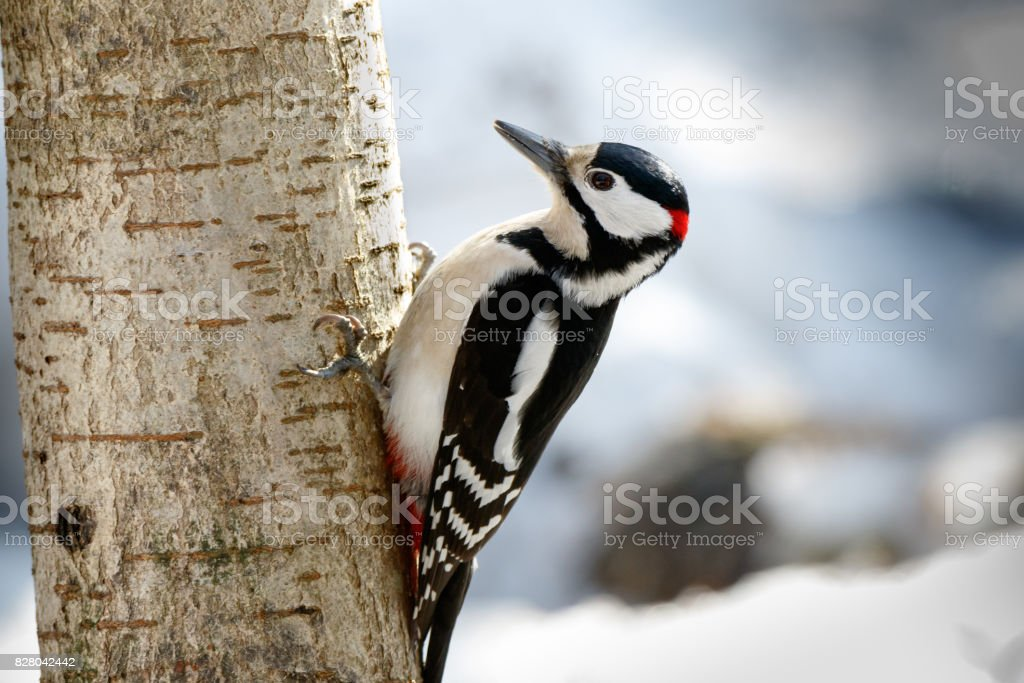 Great spotted woodpecker (Dendrocopos major) stock photo