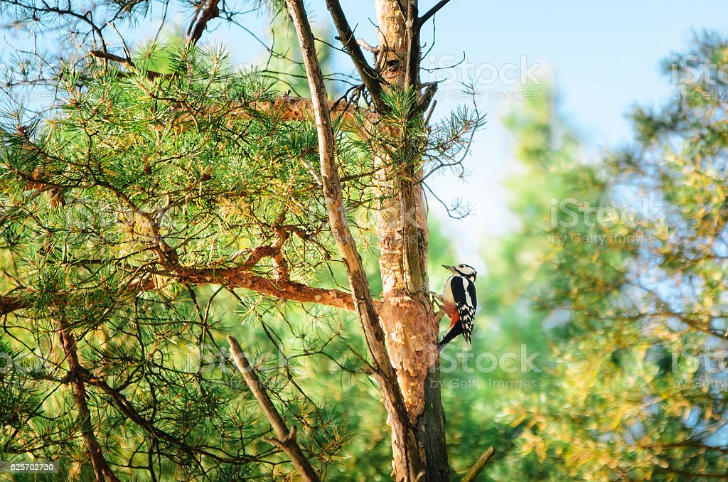 Great spotted woodpecker standing on a pine tree in summer. stock photo