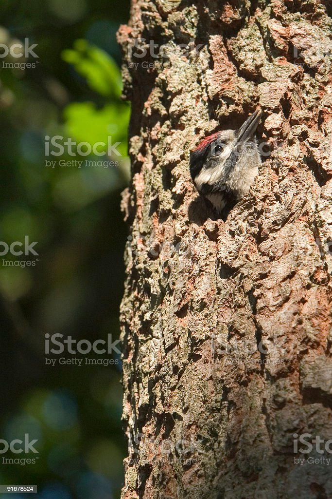 Great Spotted Woodpecker (Dendrocopos major) - The Netherlands royalty-free stock photo