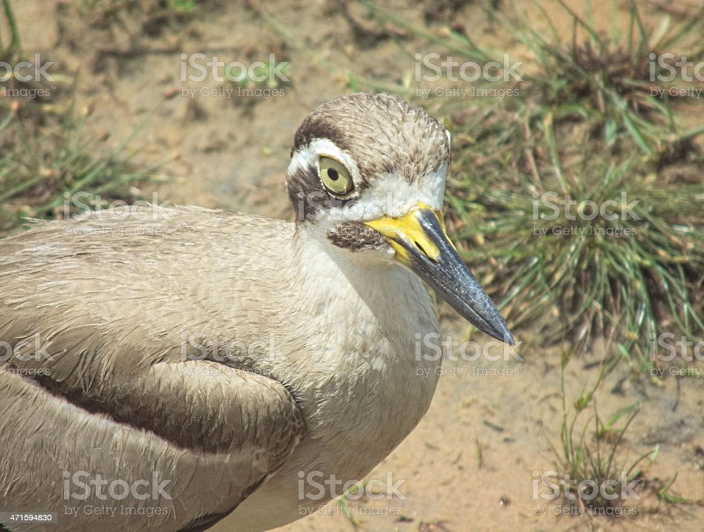 Great Stone Curlew, or 'Thick-Knee' in Broken-Wing Ruse stock photo