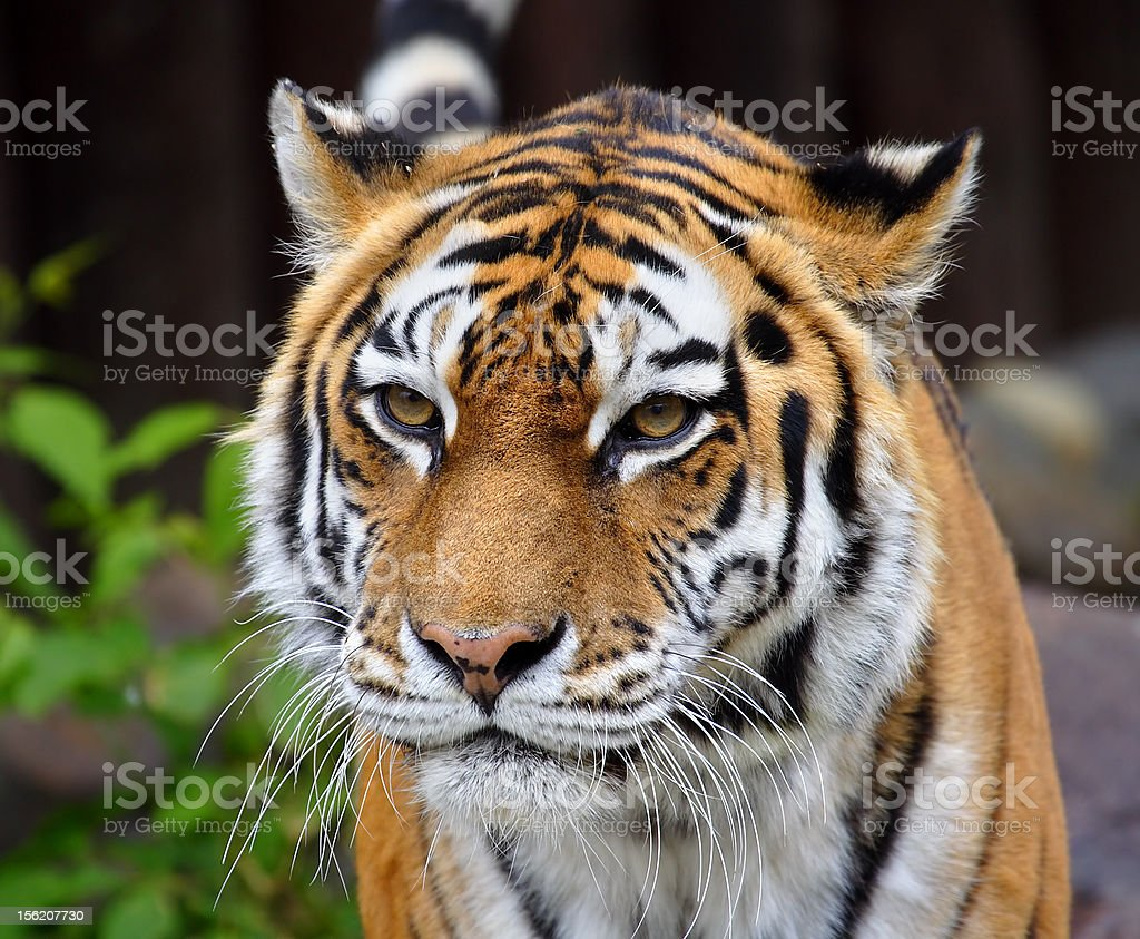 Great tiger. royalty-free stock photo