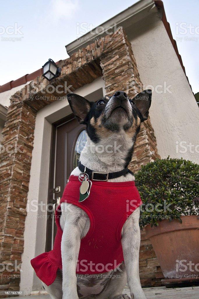 Great tiny guard dog royalty-free stock photo