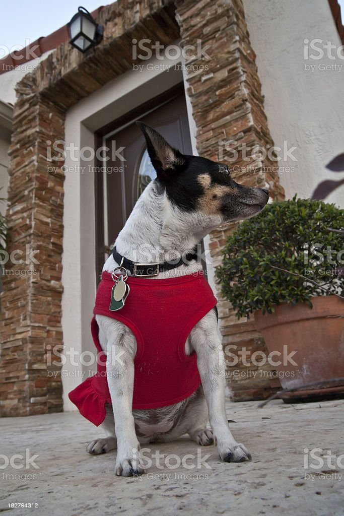 Great tiny guard dog royalty-free stock photo