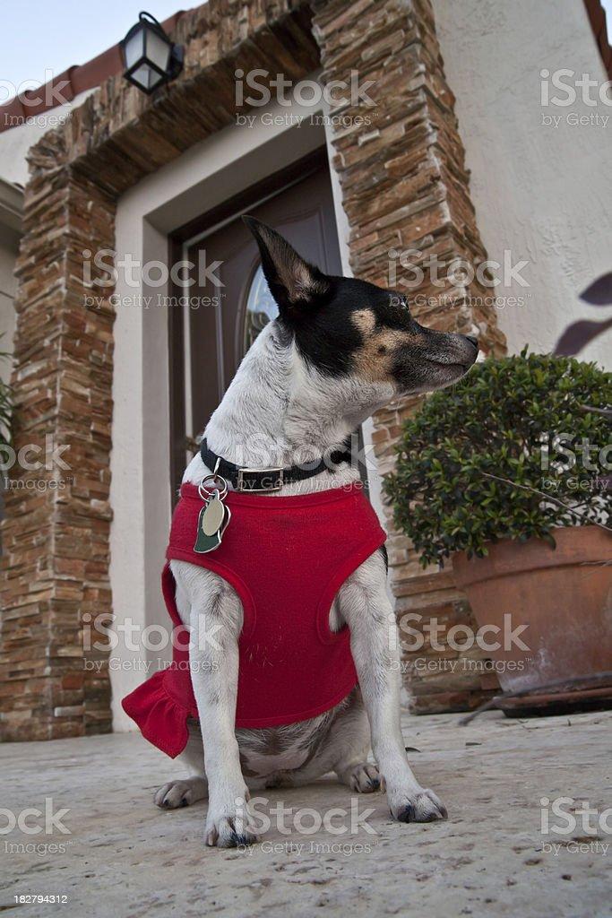 Great tiny guard dog stock photo