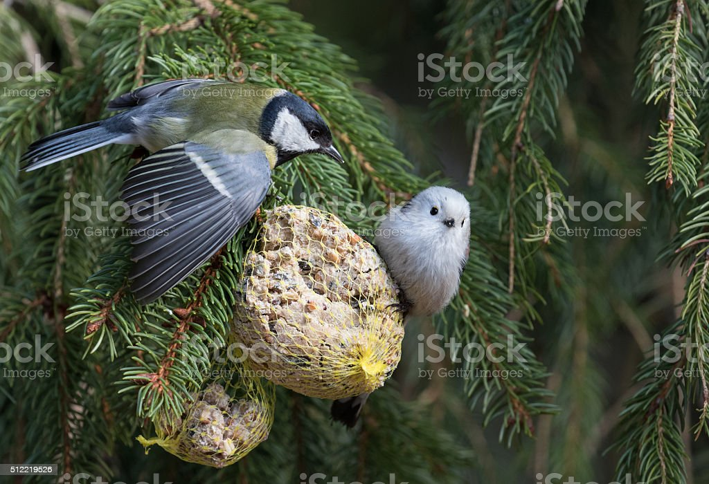 Great tit and long-tailed tit perching on a feeder stock photo