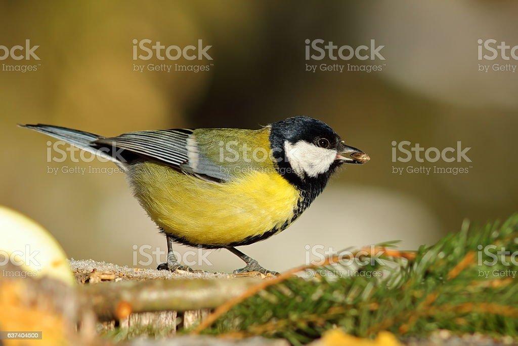 great tit at birdfeeder stock photo