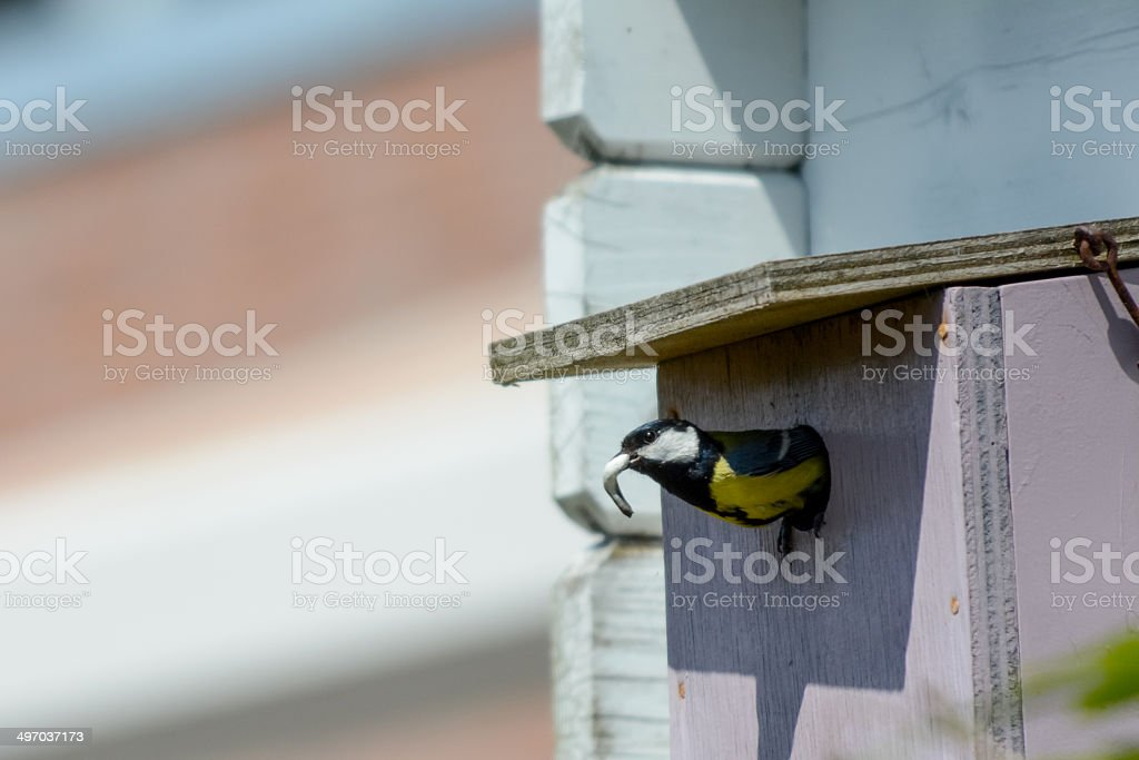 great tit at her nest royalty-free stock photo
