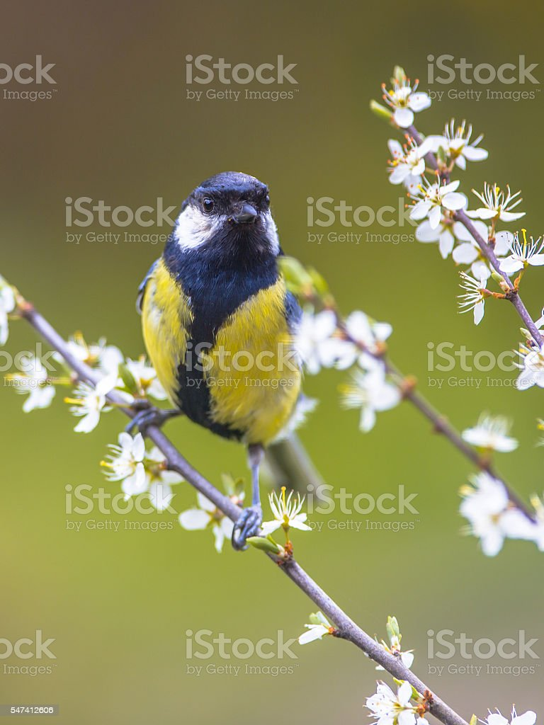Great tit between flowers stock photo