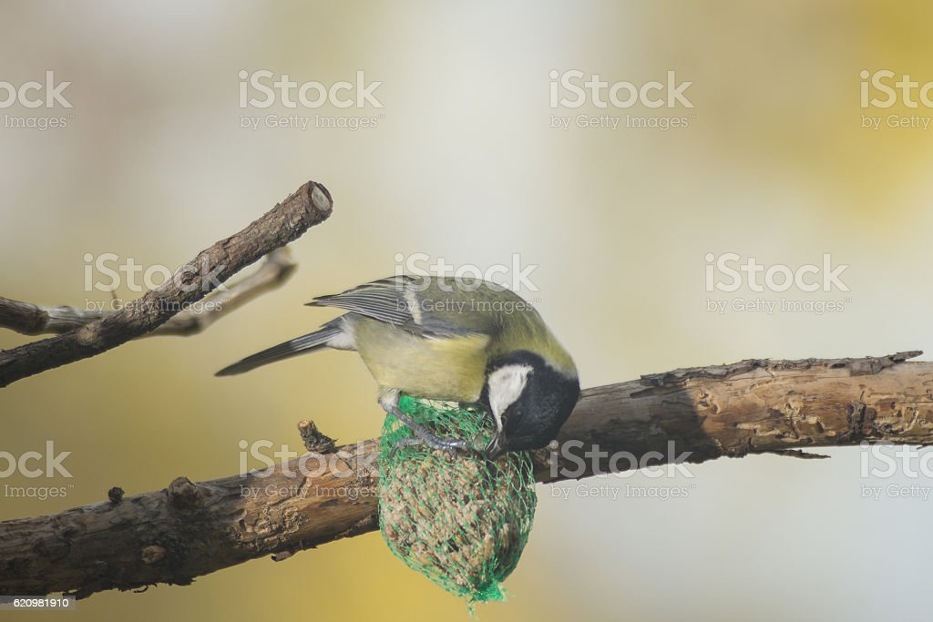great tit, blue tit eats fat ball at the manger stock photo