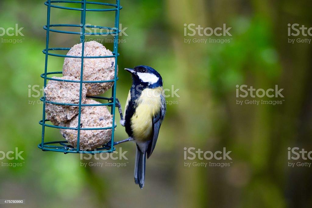 Great tit eating fat balls stock photo