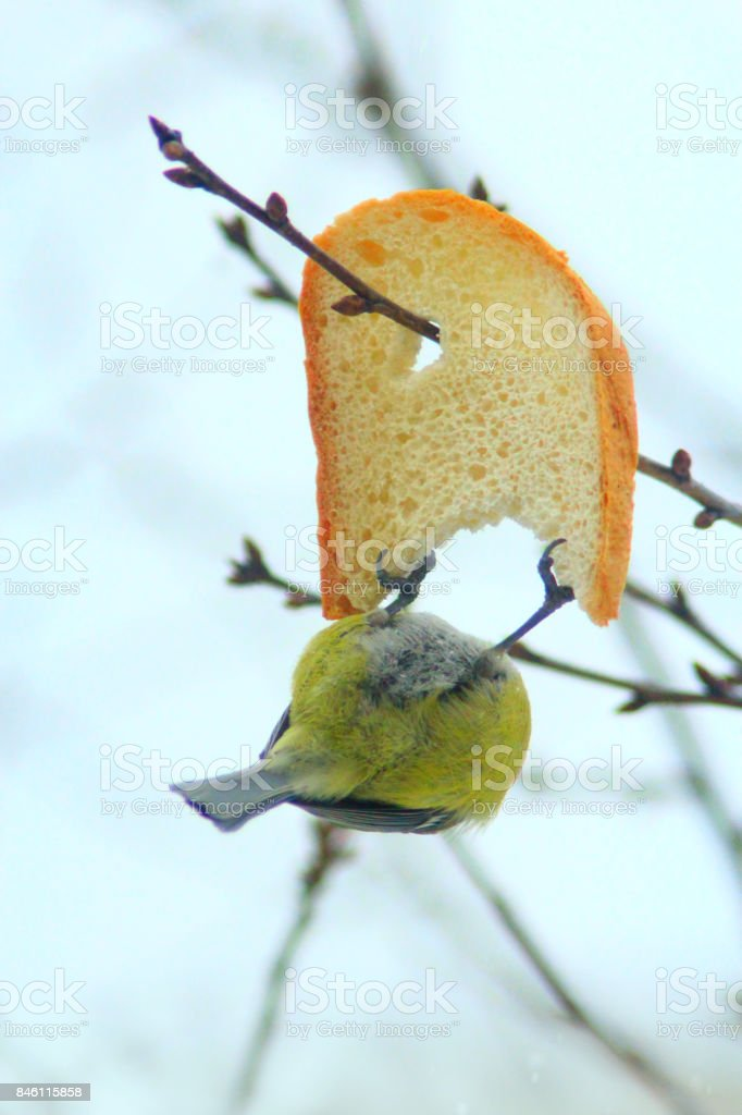 Great tit eats piece of bread stock photo