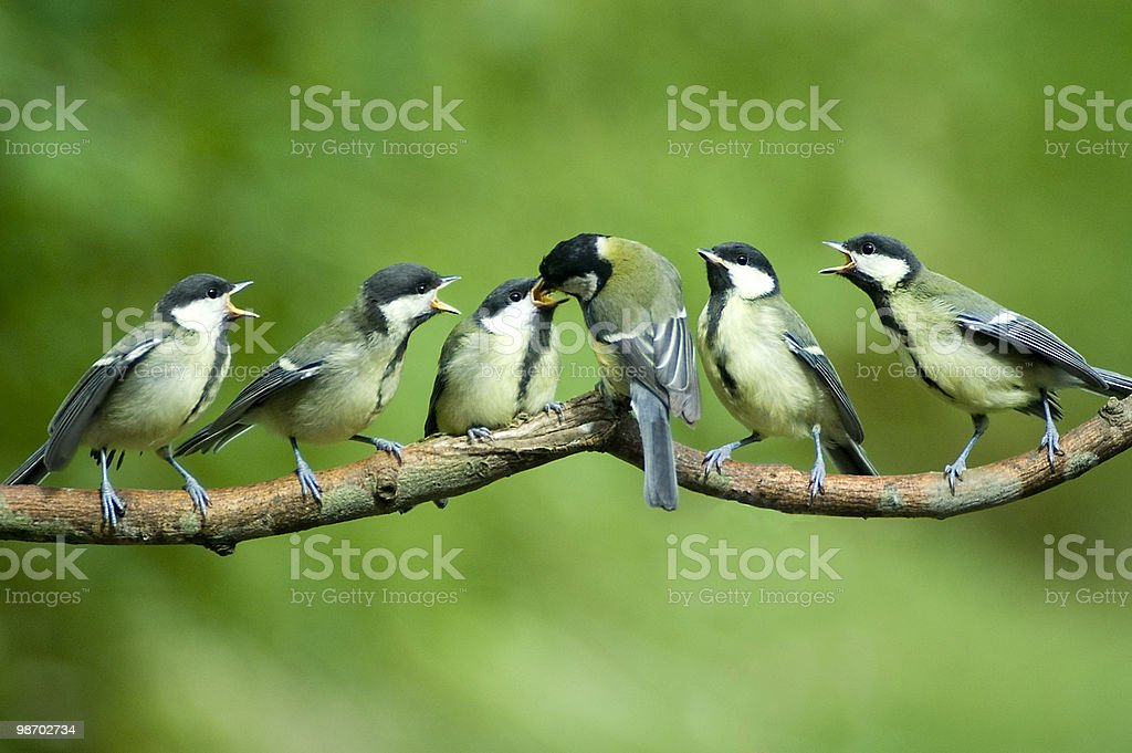 Great Tit family being fed by mother stock photo
