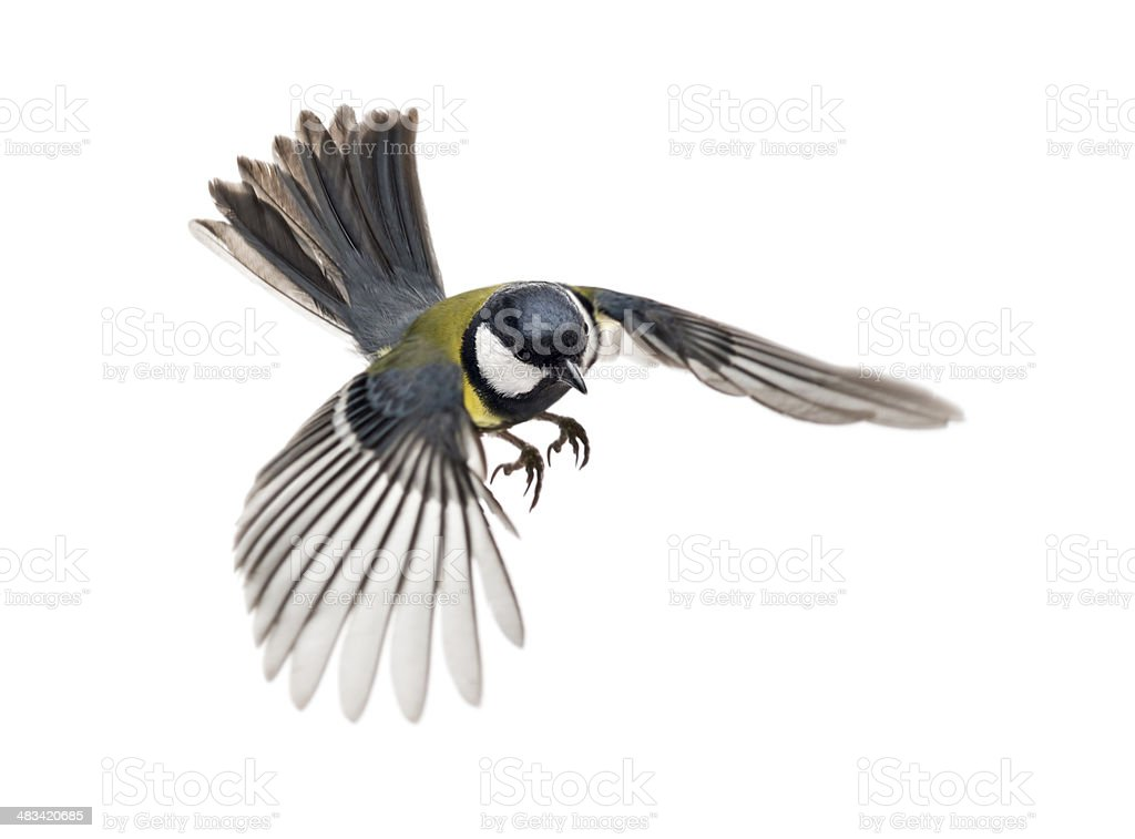 great tit flying - Parus major royalty-free stock photo