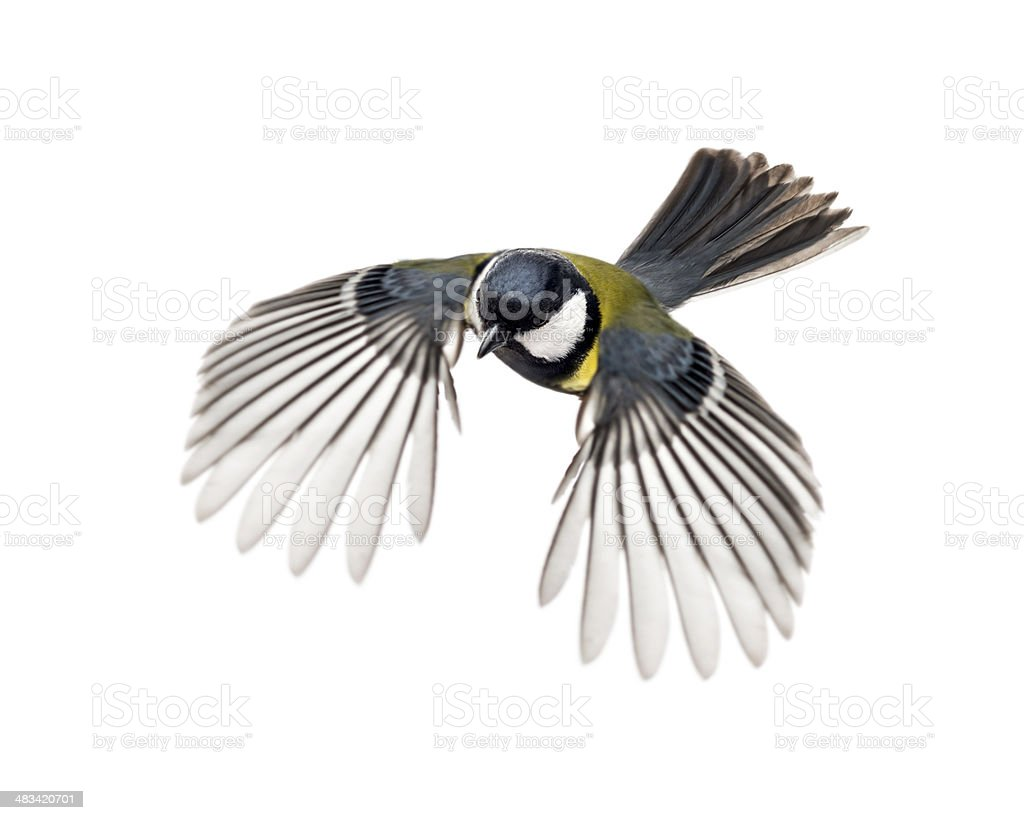 great tit flying - Parus major stock photo