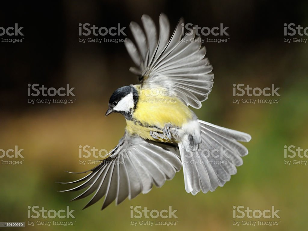 Great Tit in flight with broadly opened wings stock photo