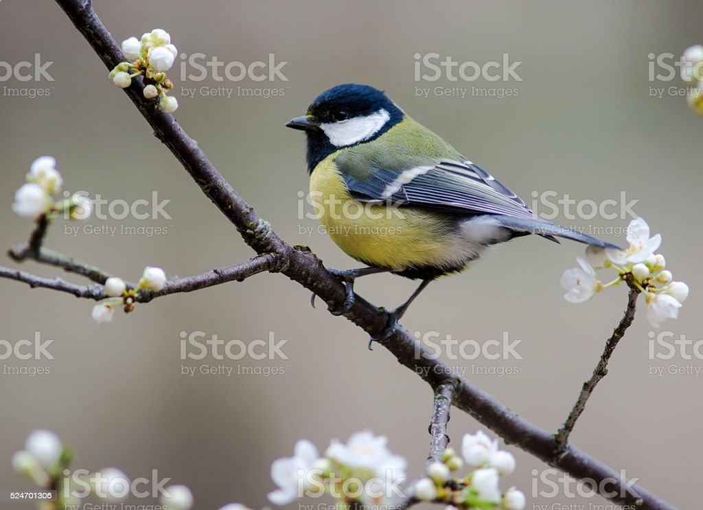 Great Tit in flowering mirabelle stock photo