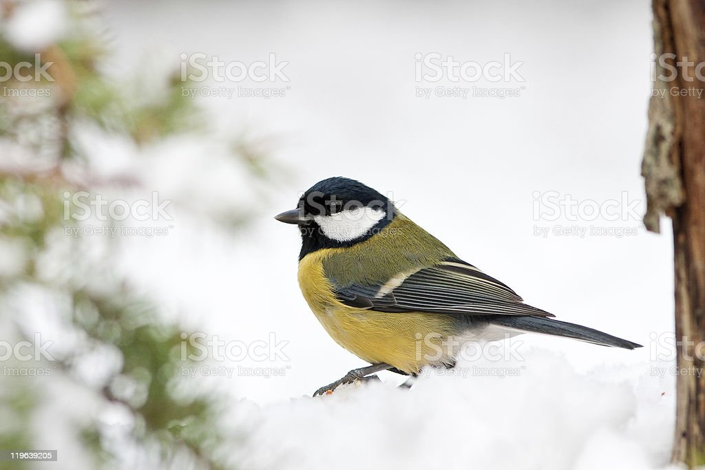 Great Tit in Snow with Foliage stock photo
