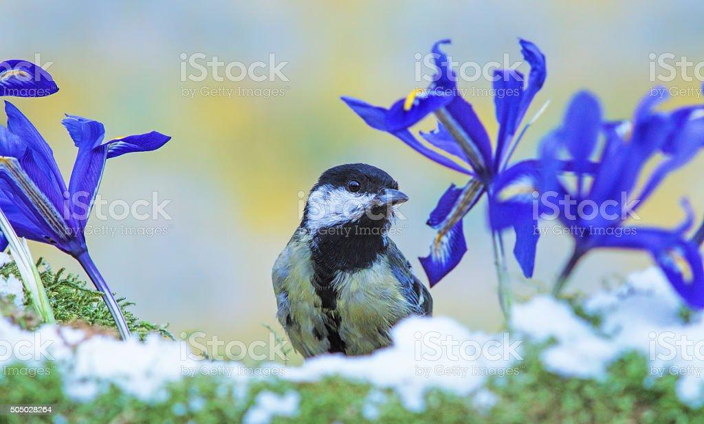 Great tit in springtime stock photo