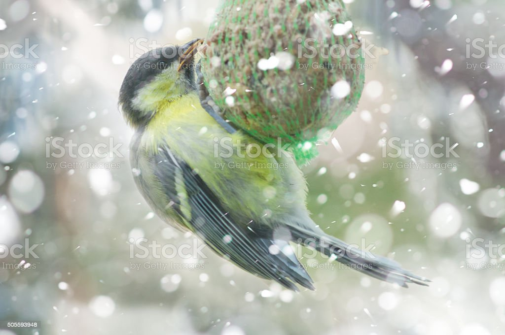 Great tit in winter -bird fat ball in falling snow stock photo