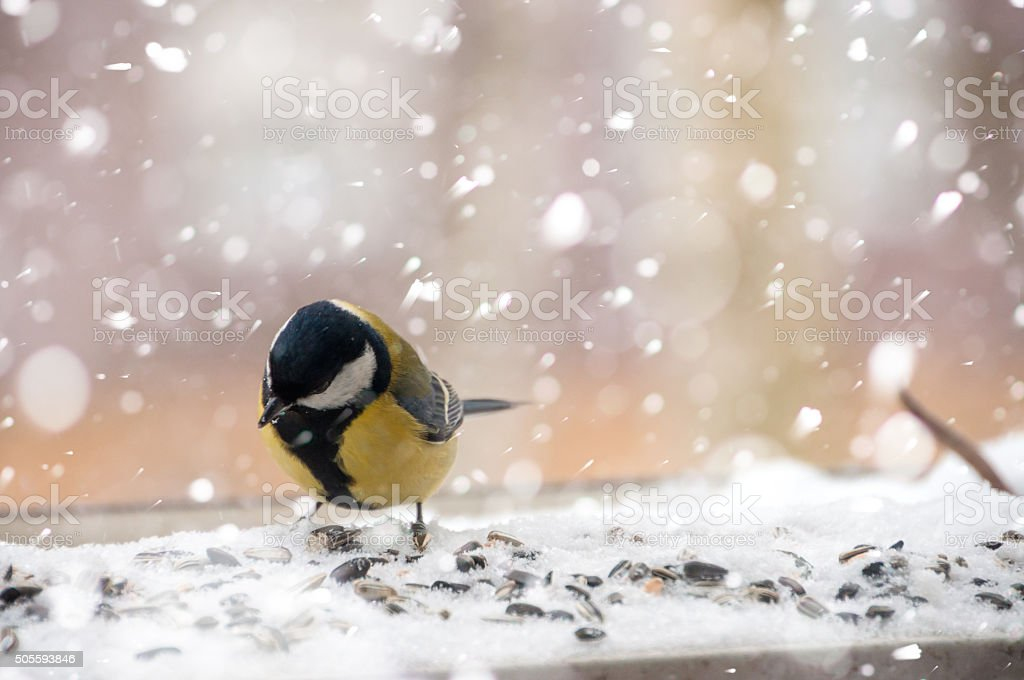 Great tit in winter -bird in falling snow with seeds stock photo