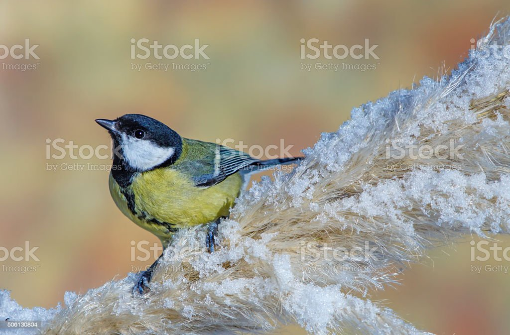 Great tit in wintertime stock photo