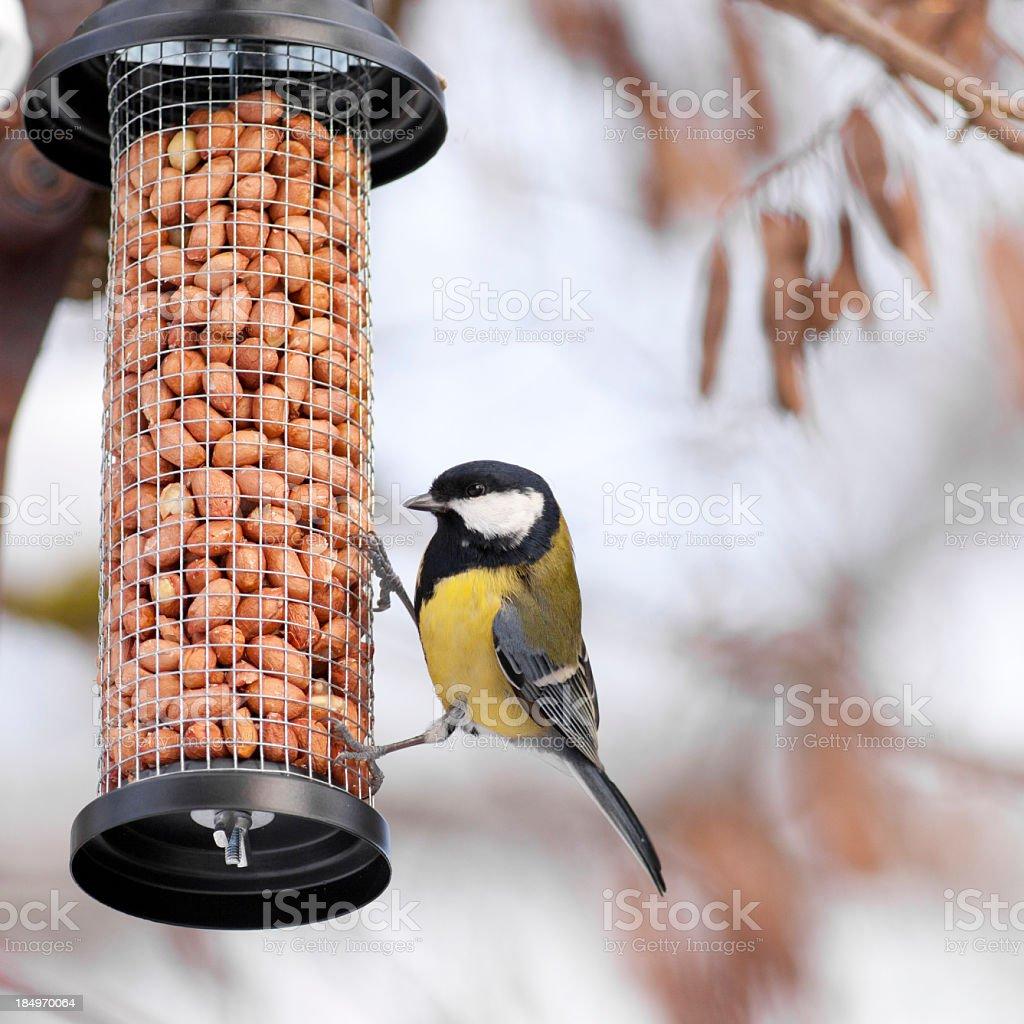Great Tit on a bird table stock photo
