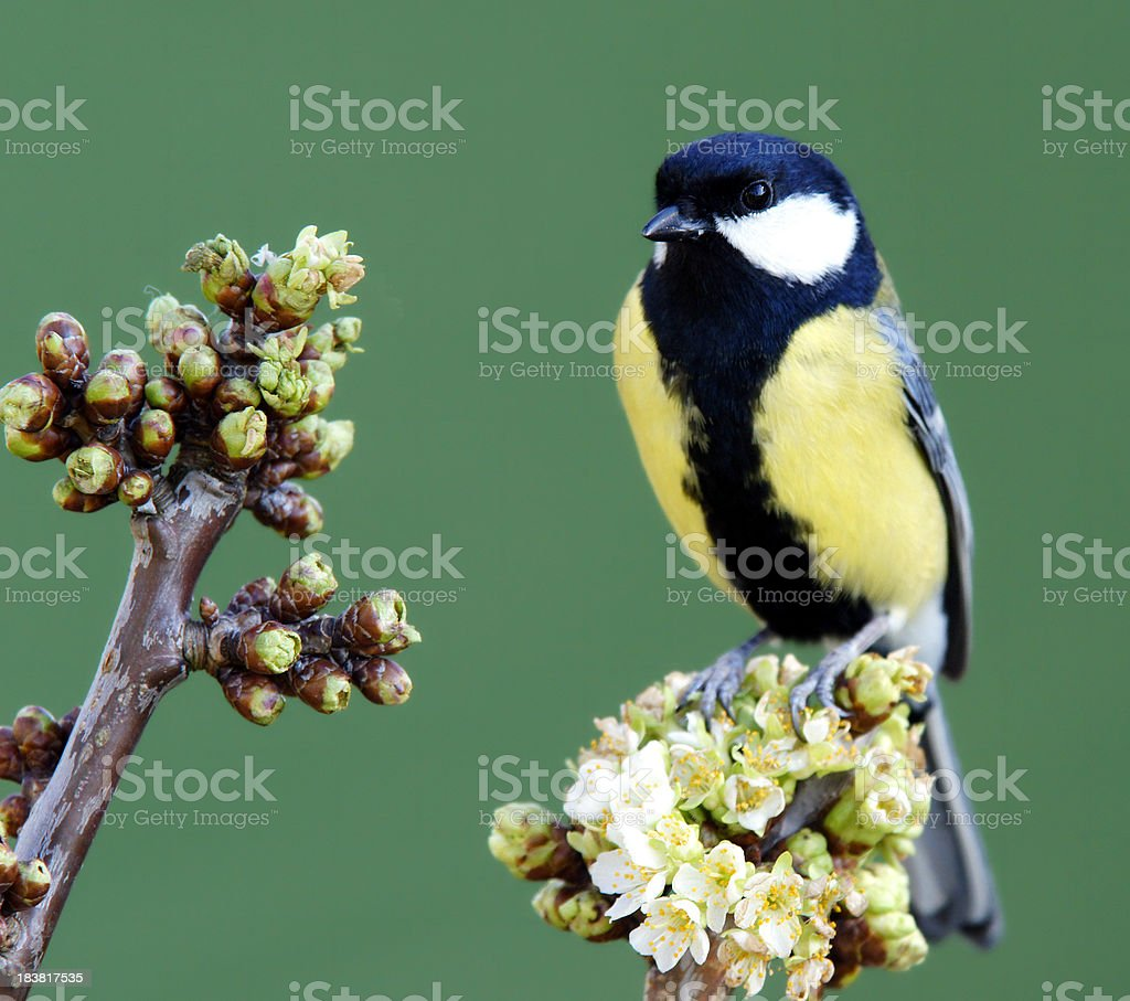 Great tit on a blossoming twig royalty-free stock photo
