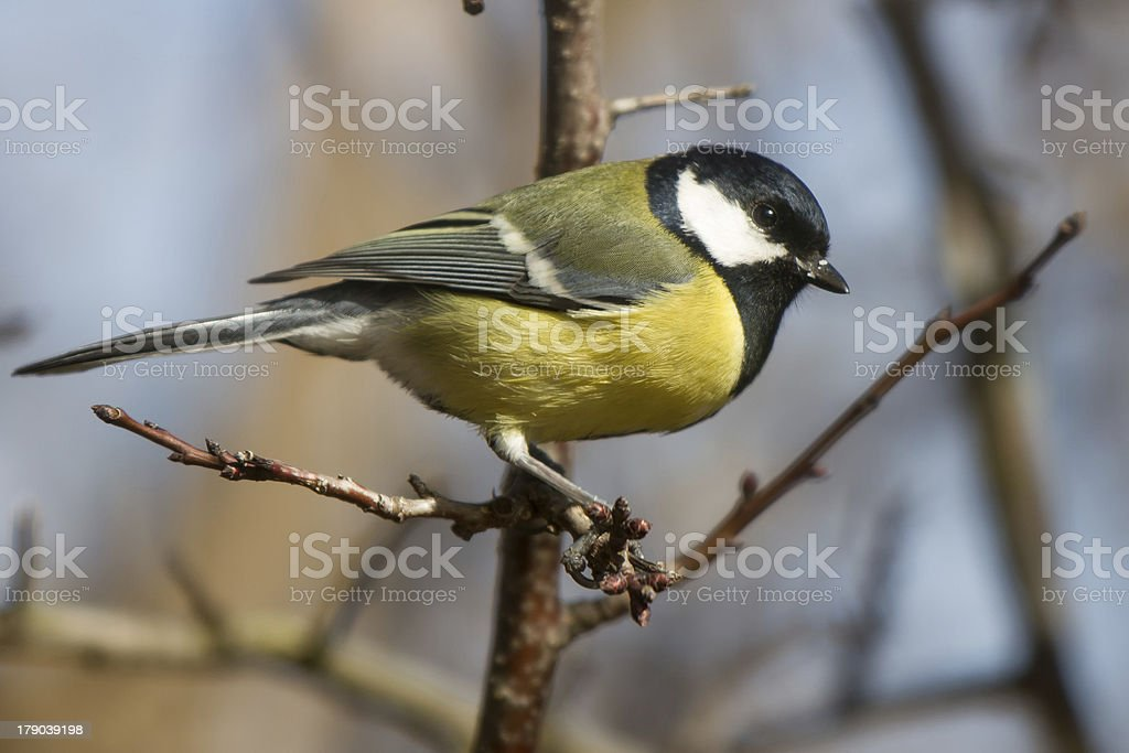 Great tit on a branch royalty-free stock photo