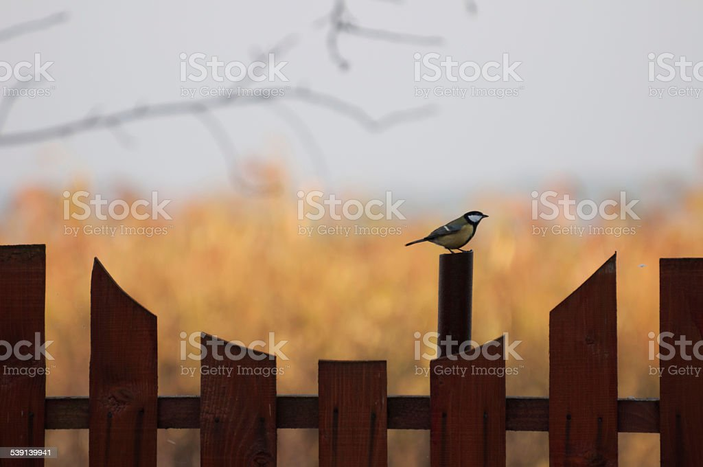 Great Tit on a fence looking to the right royalty-free stock photo
