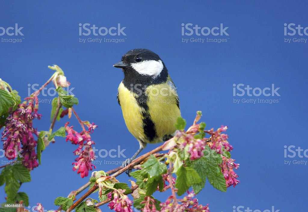 Great tit on blossoming twig stock photo