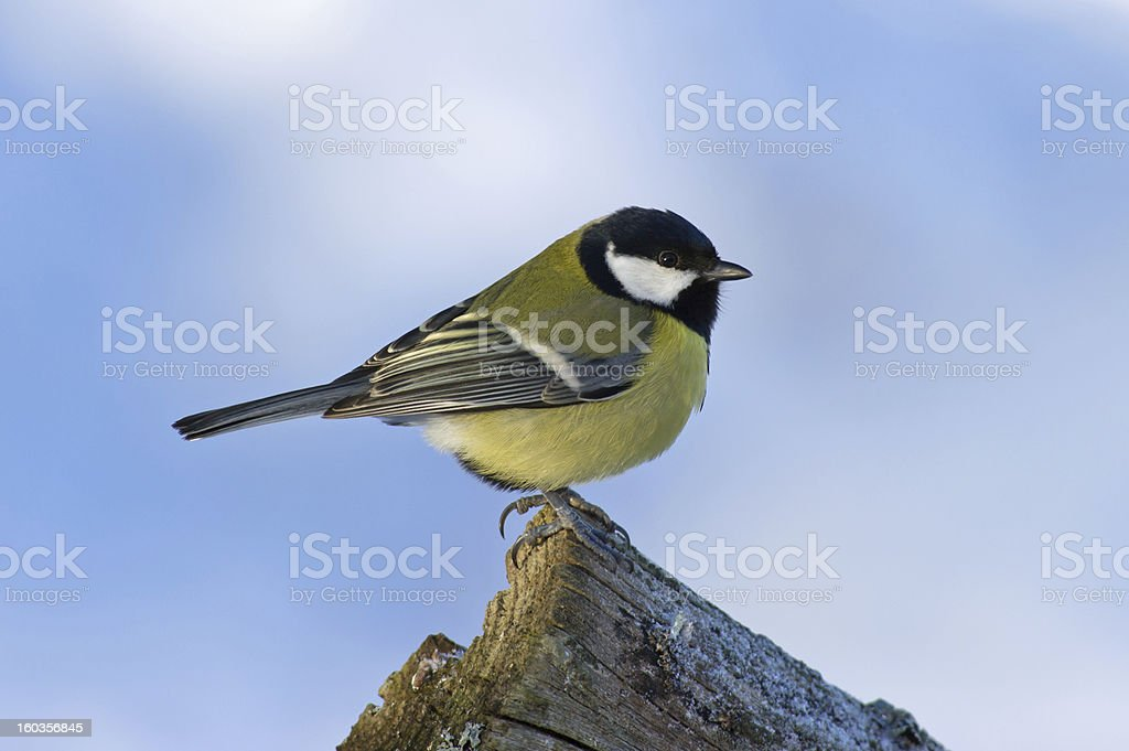 Great Tit (Parus major) on the edge royalty-free stock photo