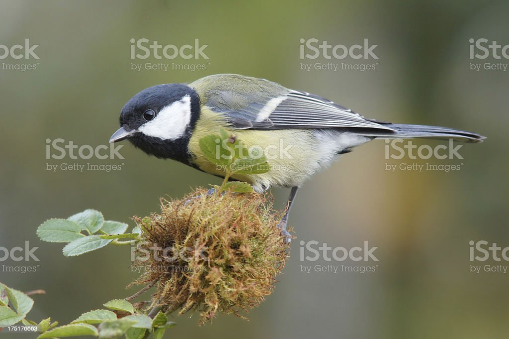 Great tit on wild rose twig royalty-free stock photo