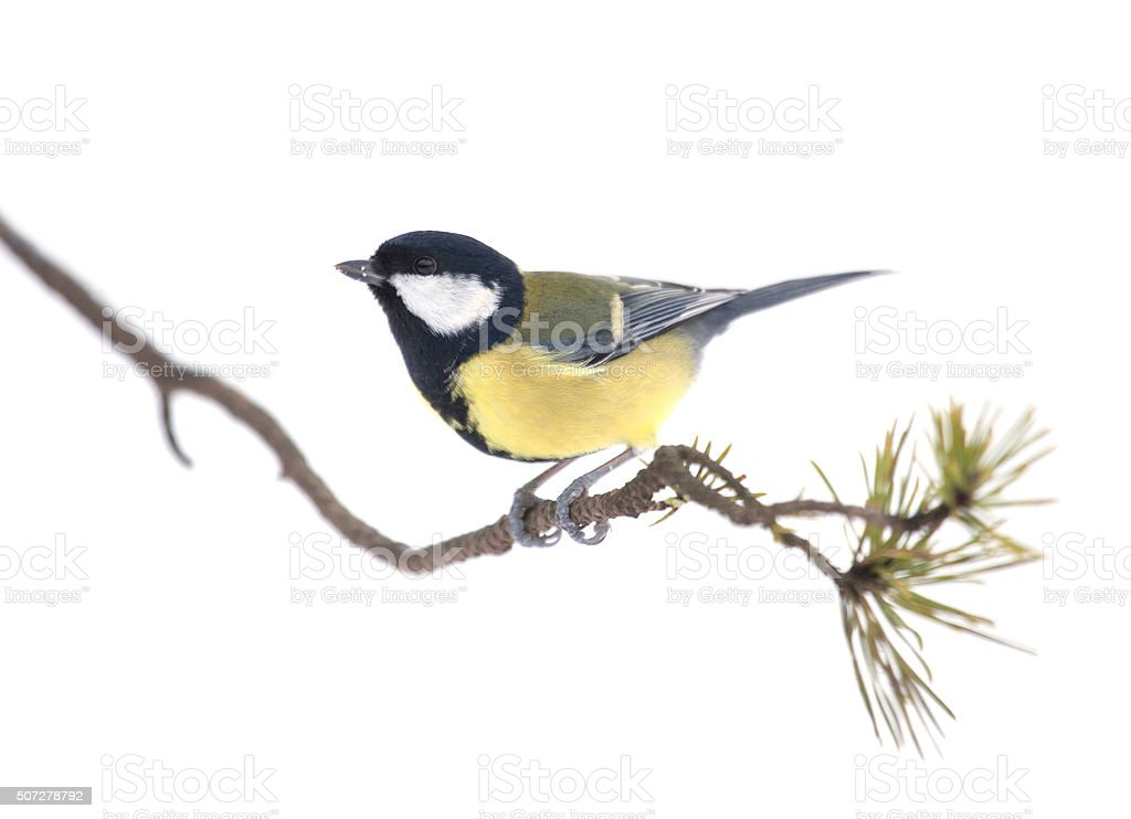 Great Tit, Parus major, on a lichen-encrusted twig, isolated on white stock photo