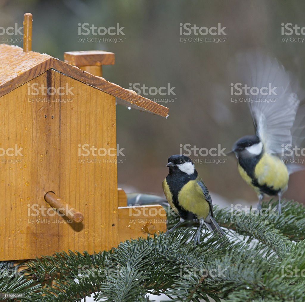 great tit [Parus major] royalty-free stock photo