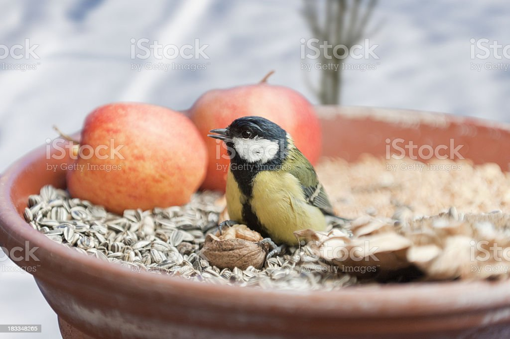 great tit  [ Parus major ] royalty-free stock photo