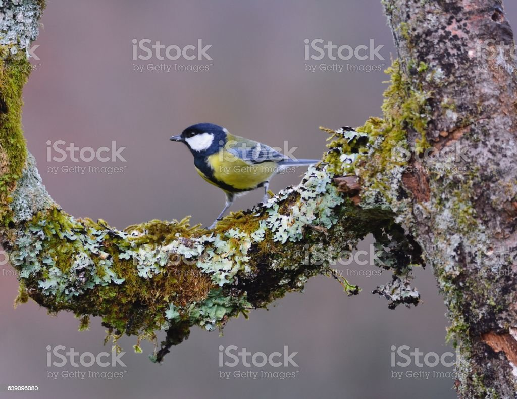 Great tit perched on a branch. stock photo