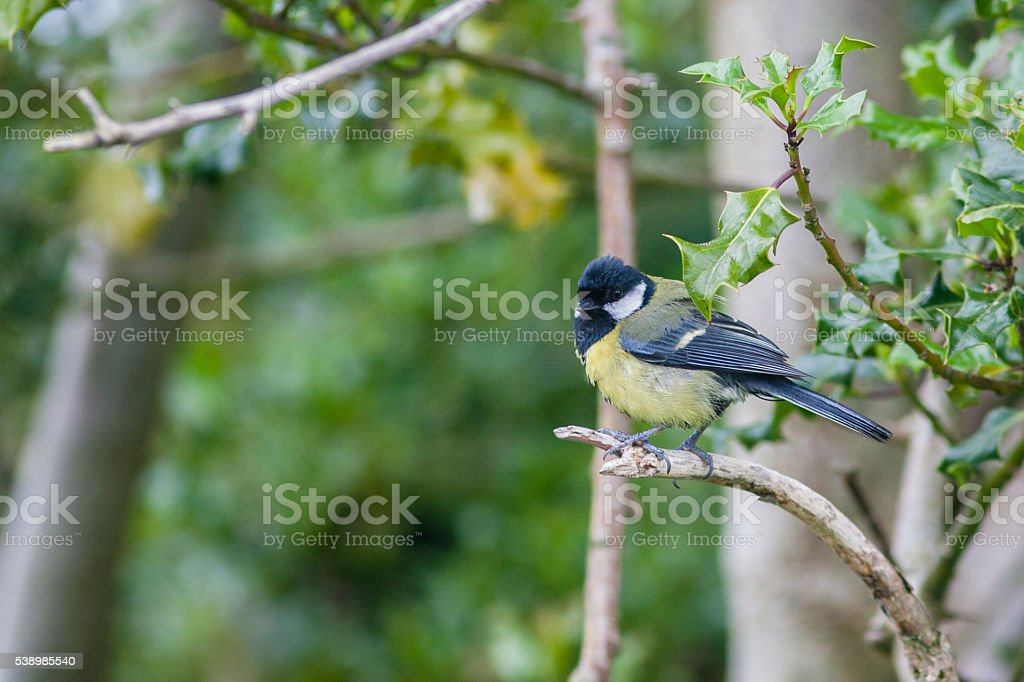 Great tit perched on branch stock photo