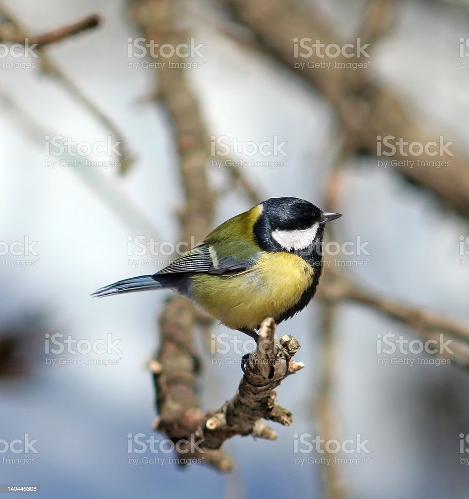 Great Tit ( Parus major ) royalty-free stock photo