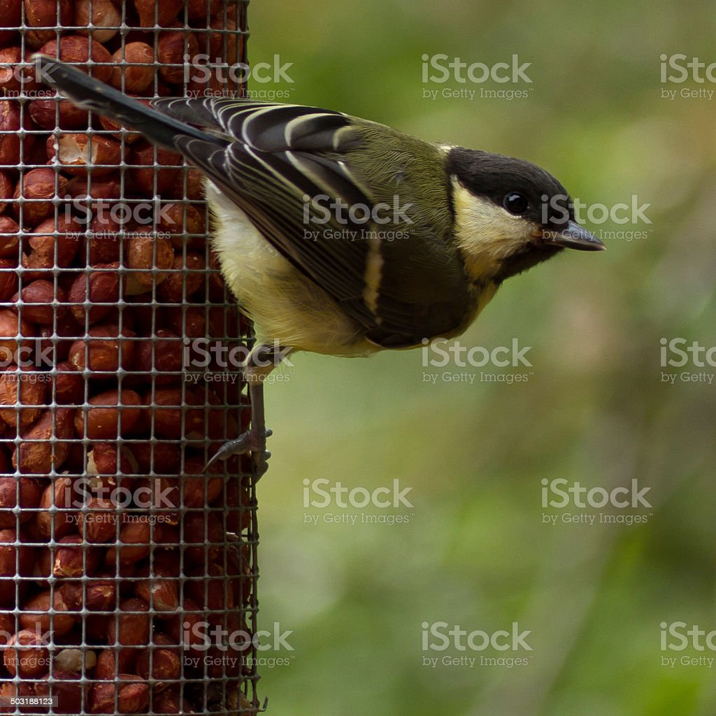 Great Tit royalty-free stock photo