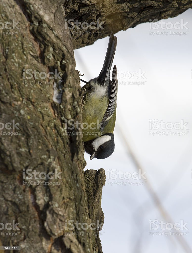 Great tit sits on a tree trunk. stock photo