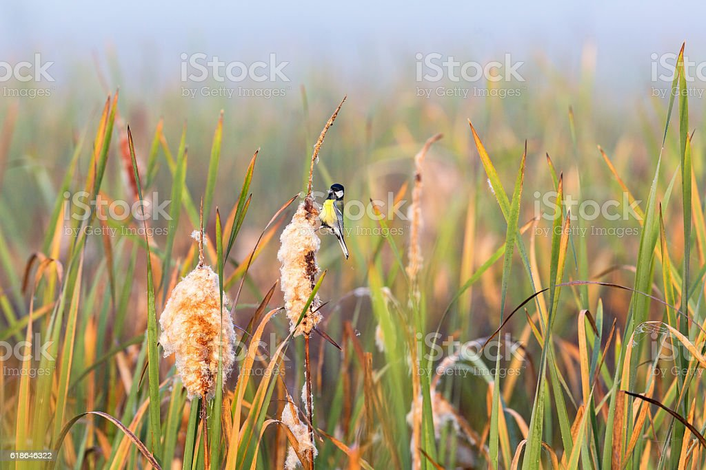 Great tit sitting on a bulrush in the wetland stock photo