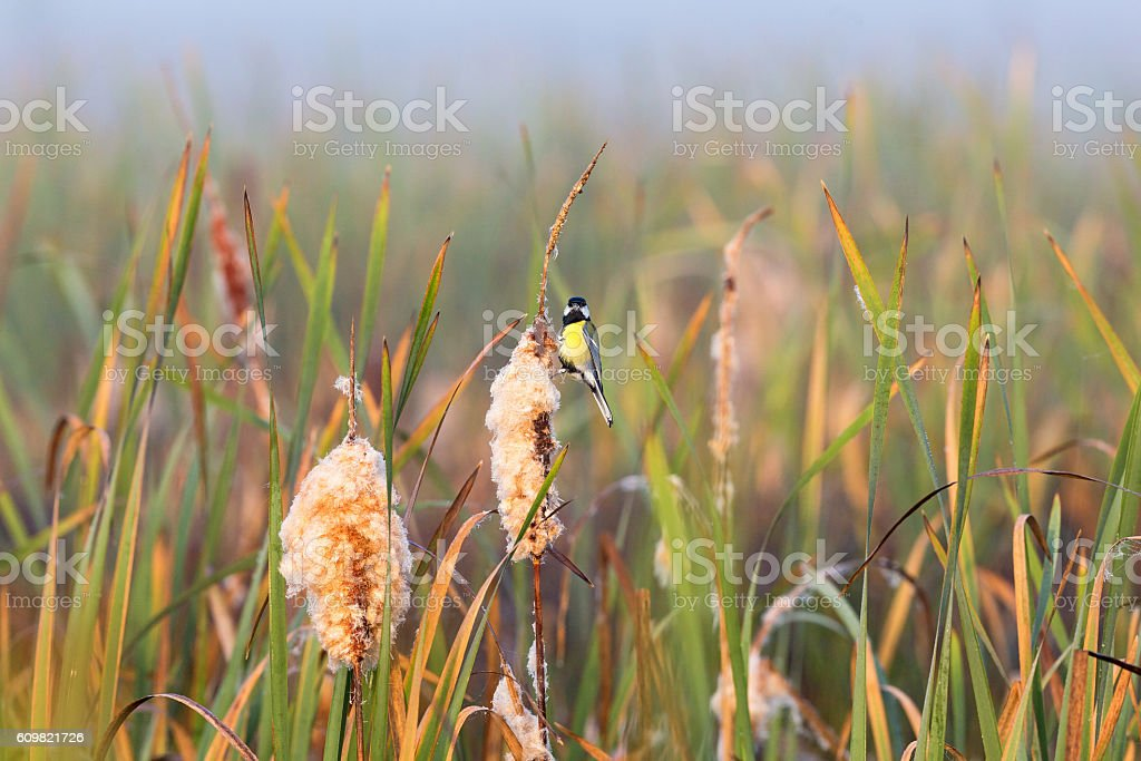 Great tit sitting on a bulrush straw in the wetland stock photo