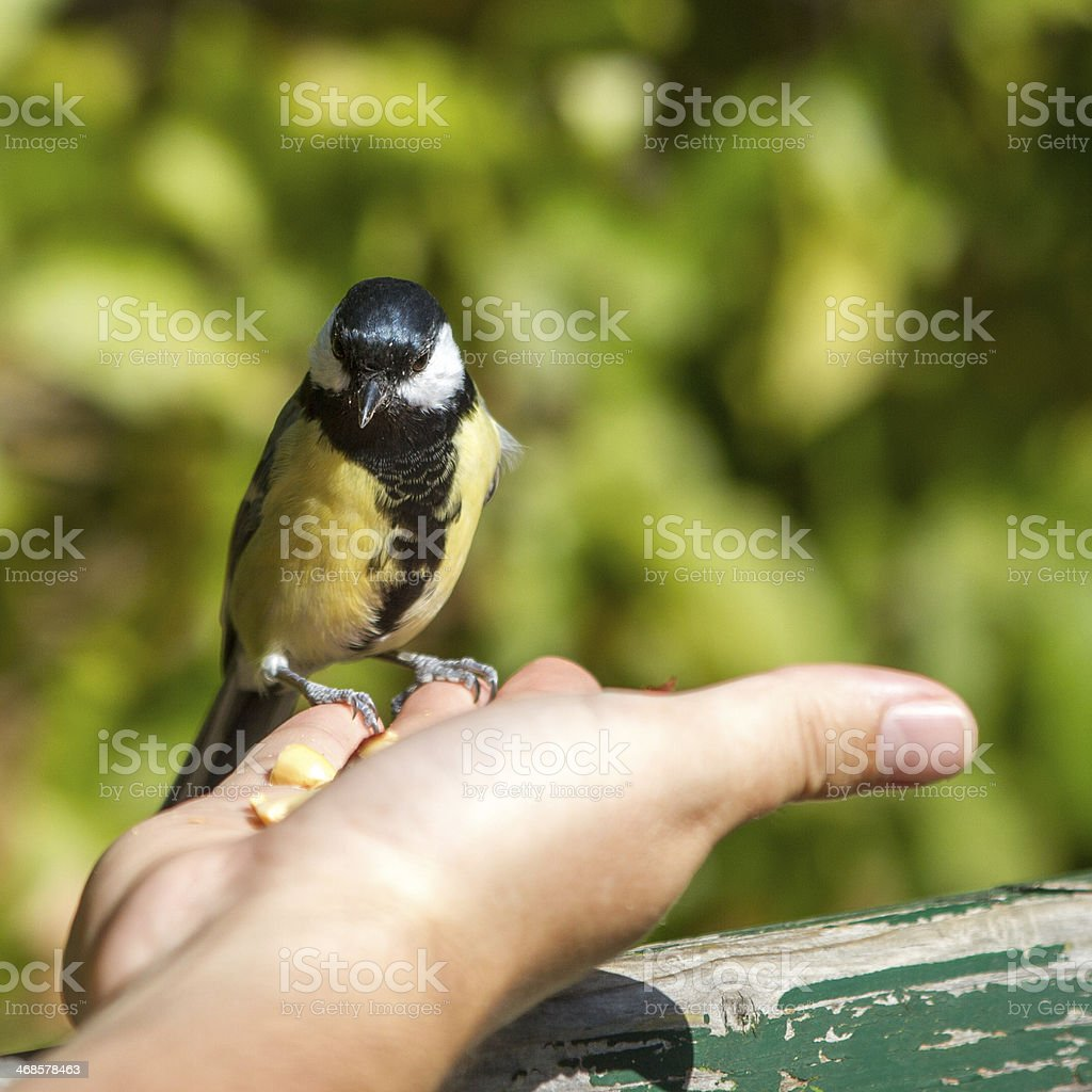 Great Tit sitting on a hand stock photo