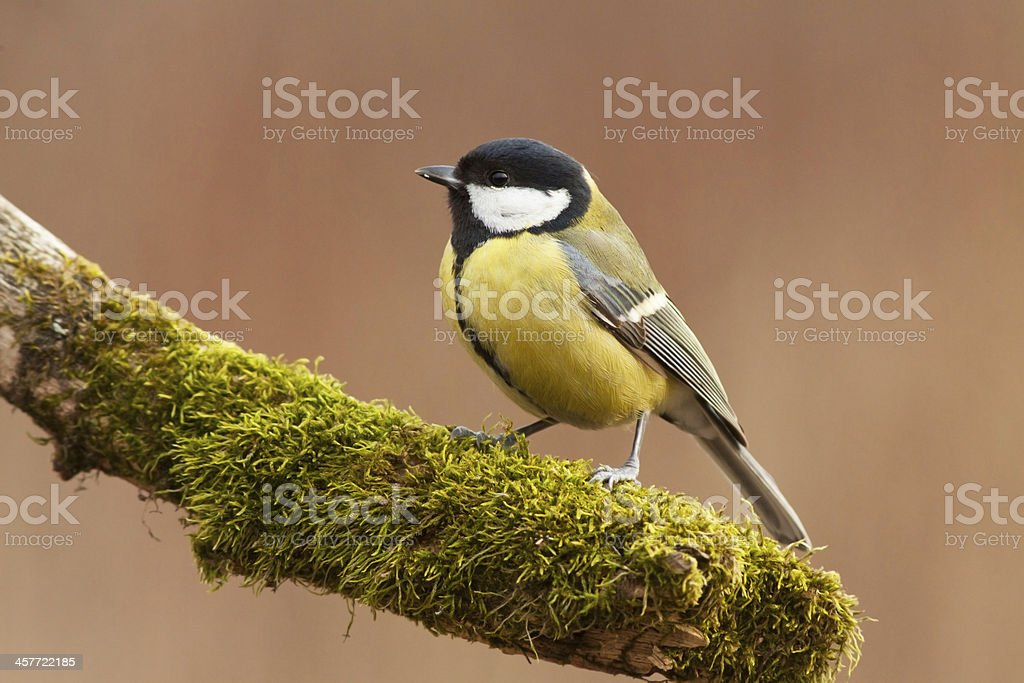 Great tit sitting on the branch royalty-free stock photo