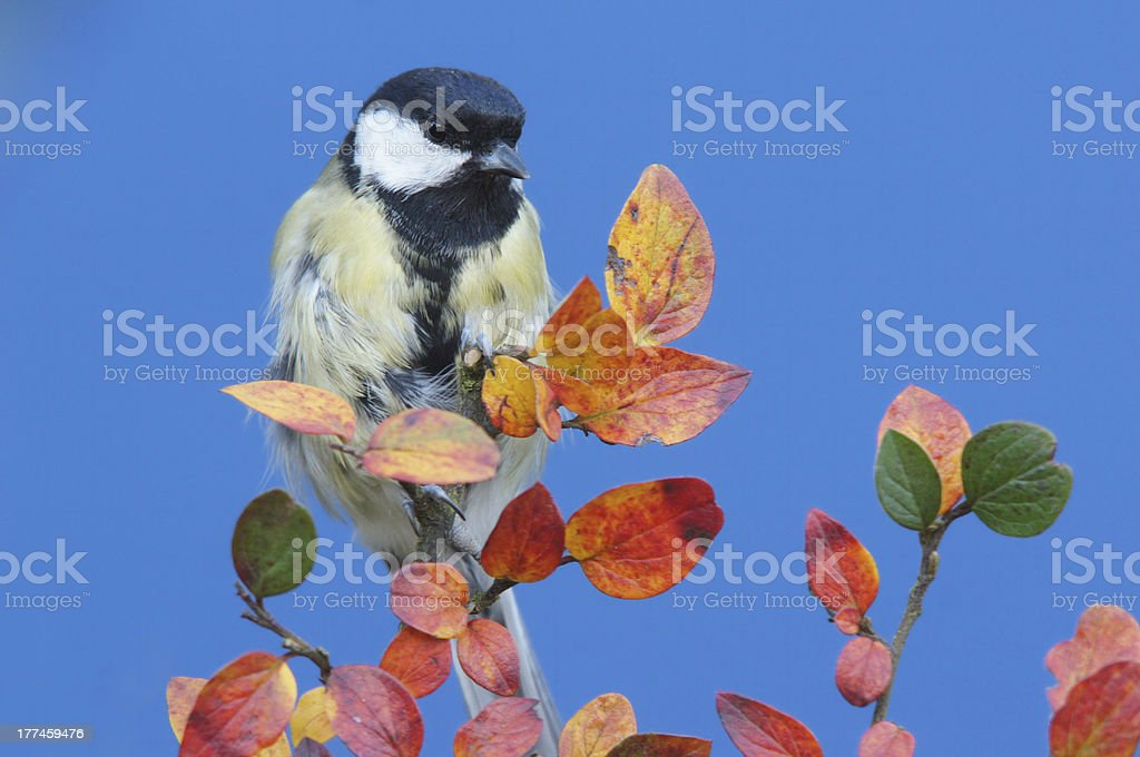Great tit with fall leaves royalty-free stock photo